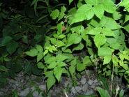Red Raspberry 5 leaves