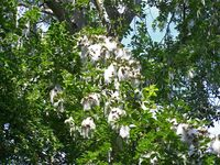 Populus-maximowiczii