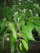 PrunusSubhirtella