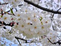 Yoshino Sakura Tidal Basin DC