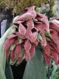 Bulbophyllum phalaenopsis-9705