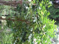 Prunus zippeliana2