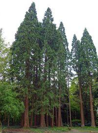 Sequoiafarm Sequoiadendron giganteum