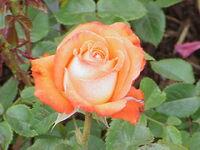 Rosa sp 163