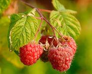 Raspberries (Rubus Idaeus)