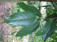 Prunus zippeliana3