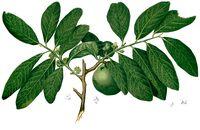 Diospyros nigra Blanco2.372-cropped