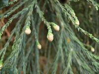UnopenedMalePollenConesGiantSequoia