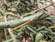 Cylindropuntia arbuscula 2