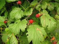 Rubus crataegifolius 02
