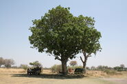 Sausage Tree in Botswana