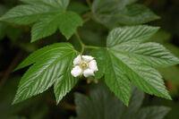 Rubus trifidus