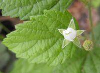 Rubusleucodermis