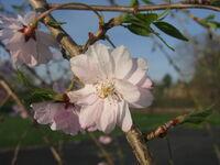 Prunus Subhirtella 'Pendula' 05