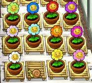 Marigolds zen garden
