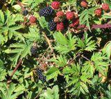Blastberry Vine
