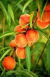 PrunusPersicaPeach