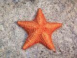 Sea Starfruit