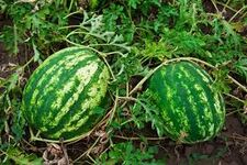 Watermelongrowing