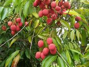 800px-Litchi chinensis fruits