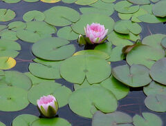 Lilly pad pond flower stock by Enchantedgal Stock