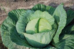 Healthy-looking-cabbage