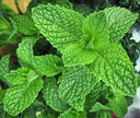 Mint(real)
