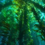 Oxygen Algae (PvZO)