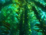 Oxygen Algae