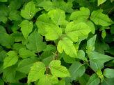 30859227028 3c76b0e230 b(Poison Ivy)