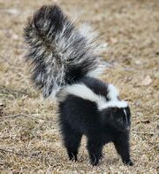 800px-Skunk about to spray