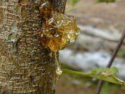 Tree-sap
