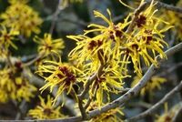 Witch-hazel-400x268