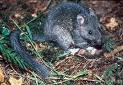 Neotoma cinerea (bushy tailed woodrat)