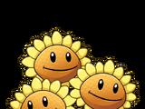 Triplet Sunflower