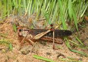 1024px-Locusta-migratoria-wanderheuschrecke