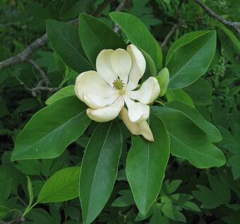 Steel Magnolia Plants Vs Zombies Wiki Fandom
