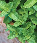 Spearmint(real)