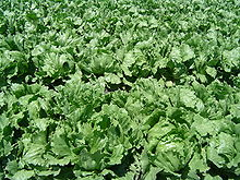 220px-Iceberg lettuce in SB