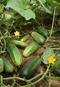 ARS cucumber