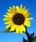 Wildsunflower