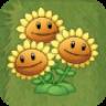 Triplet SunflowerAS