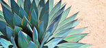 Agave(real)