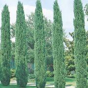 Italian-Cypress-2