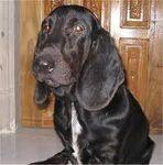 Blackbassethound