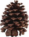 Pinecone pic