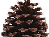 Pine Needler