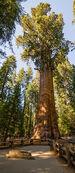 320px-General Sherman Tree 2013