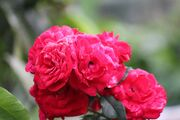 1024px-Rose flower in bundle
