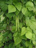 220px-Snijboon peulen Phaseolus vulgaris